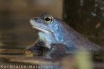 Moorfrosch männl. (Rana arvalis), April 2015 MV/GER, Bild 1