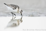 Sanderling (Calidris alba), Sept 2018 MV/GER, Bild 44