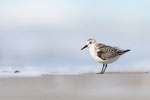 Sanderling (Calidris alba), Sept 2020 MV/GER, Bild 75
