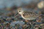 Sanderling 1. KJ (Calidris alba), Sept 2014 MV/GER, Bild 5