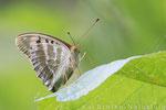 Kaisermantel weibl. dunkle Morphe (Argynnis paphia f. valesina), Juli 2014 MV/GER, Bild 2