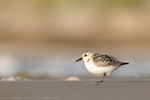 Sanderling (Calidris alba), Sept 2019 MV/GER, Bild 49