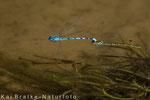 Gemeine Becherjungfer Tandem im Flug (Enallagma cyathigerum), Aug 2013 MV/GER, Bild 2