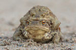Erdkrötenpärchen (Bufo bufo), März 2014 MV/GER, Bild 3