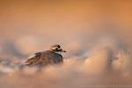 Sandregenpfeifer PK (Charadrius hiaticula), Juni 2020 MV/GER, Bild 90