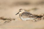 Sanderling 1. KJ (Calidris alba), Sept 2014 MV/GER, Bild 3