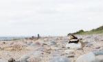 Sandregenpfeifer männl. PK (Charadrius hiaticula), Juni 2017 MV/GER, Bild 42