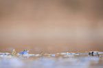 Moorfrosch männl. (Rana arvalis), März 2021 MV/GER, Bild 20
