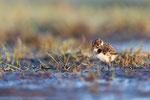 Kiebitz (Vanellus vanellus), Mai 2020 Nds/GER, Bild 10