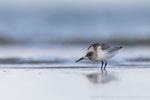 Sanderling (Calidris alba), Aug 2020 MV/GER, Bild 69