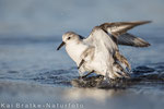 Sanderlinge SK (Calidris alba), Jan 2016 MV/GER, Bild 20