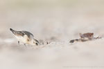 Sanderling (Calidris alba), Sept 2019 MV/GER, Bild 48