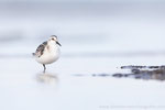 Sanderling (Calidris alba), Sept 2020 MV/GER, Bild 71