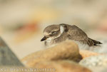Sandregenpfeifer ca. 4 Wochen alt (Charadrius hiaticula), Juli 2014 MV/GER, Bild 9