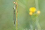 Große Pechlibelle weibl. Typ B (Ischnura elegans), Juli 2014 MV/GER, Bild 2