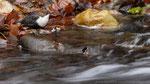 Nordische Wasseramsel (Cinclus cinclus subsp. cinclus), Jan 2021 MV/GER, Bild 33