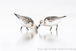 Sanderling (Calidris alba), Sept 2018 MV/GER, Bild 46