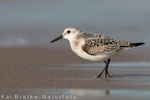 Sanderling 1. KJ (Calidris alba), Sept 2015 MV/GER, Bild 13
