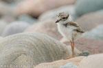 Sandregenpfeifer Pullus (Charadrius hiaticula), Juni 2015 MV/GER, Bild 13
