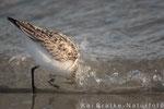 Sanderling SK (Calidris alba), OKt 2013 MV/GER, Bild 4