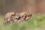 Erdkröten-Weibchen mit 3 Männern (Bufo bufo), April 2019 MV/GER, Bild 11
