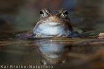 Moorfrosch männl. zu Beginn der Laichzeit (Rana arvalis), April 2015 MV/GER, Bild 6