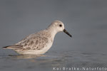 Sanderling SK (Calidris alba), Nov 2014 MV/GER, Bild 2