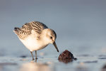 Sanderling (Calidris alba), Sept 2019 MV/GER, Bild 52