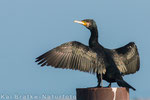 Kormoran (Phalacrocorax carbo), Feb 2015 MV/GER, Bild 3