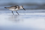 Sanderling (Calidris alba), Aug 2020 MV/GER, Bild 70