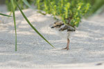 Sandregenpfeifer Pullus (Charadrius hiaticula), Juli 2014 MV/GER, Bild 7