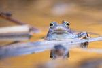 Moorfrosch männl. (Rana arvalis), März 2021 MV/GER, Bild 22