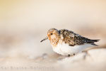 Sanderling, adult (Calidris alba), Aug 2018 MV/GER, Bild 43