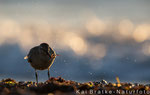 Knutt 1. KJ (Calidris canutus), Sept 2016 MV/GER, Bild 18