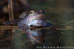 Moorfrosch männl. (Rana arvalis), April 2015 MV/GER, Bild 5