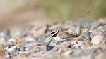 Sandregenpfeifer PK (Charadrius hiaticula), Mai 2020 MV/GER, Bild 81