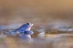 Moorfrosch männl. (Rana arvalis), März 2021 MV/GER, Bild 21