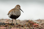 Alpenstrandläufer im PK (Calidris alpina),  Juli 2015 MV/GER, Bild 9