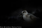 Sanderling 1. KJ (Calidris alba), Sept 2017 MV/GER, Bild 36