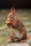 Eichhörnchen (Sciurus vulgaris), Dez 2013 Nds/GER, Bild 2