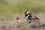 Kiebitz (Vanellus vanellus), Mai 2020 Nds/GER, Bild 15
