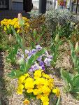 そろそろチューリップが花開きます(2012.4.7)