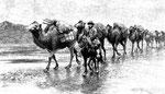 Les chameaux sur la glace