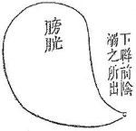 Les uretères ne sont pas figurés et la vessie paraît sans connexion avec la partie supérieure de l'appareil urinaire. Pourtant les textes mentionnent  « deux canaux, un pour chaque rein, qui conduisent l'urine dans la vessie. »