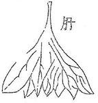 Le foie, de forme conique, ayant pour pédicule la veine cave inférieure, est tailladé de nombreuses incisures et rappelle les foies exposés sur l'étal des tripiers. Il est divisé en 7 feuillets dont 3 à gauche et 4 à droite.