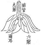 Le poumon, unique divise en segments foliacés s'insèrant au pourtour de la trachée. Il le poumon est composé de 8 feuillets et percé de 24 trous d'où s'échappe l'air. Il s'appuie contre la 3e vertèbre. Un vaisseau le met en communication avec le pharynx.