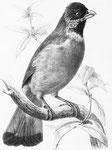 Spizixus semitorques. Ce bel oiseau vit en petites bandes, qui recherchent le voisinage des habitations. Son vol est lourd, et son chant, sans être remarquable, ne manque pas de charme ni de gaieté. Quand les baies sauvages viennent à lui manquer,..