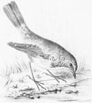 Ianthia cyanura. Ce charmant oiseau, qui voyage dans tout l'extrême Orient, se tient de préférence dans les forêts et les taillis ; quelquefois cependant il pénètre dans les villes, et au moment de son passage il n'est pas rare dans l'intérieur de Pékin.