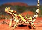 Thorny Devil Lizard