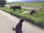 Und nach dem Besuch bei den Pferden, besuchen wir Kühe. Kühe sind kuhl!